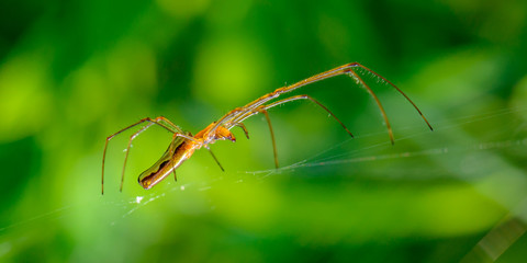 Elegant spider with very long paws sits in its web on a green background