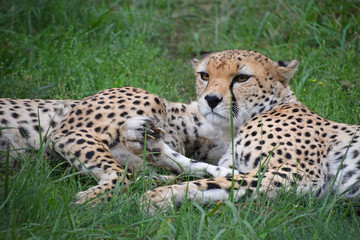 Couple of cheetahs resting in green grass