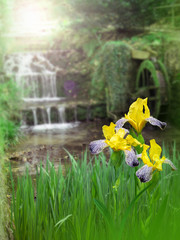 Yellow iris flowers on the water mill background