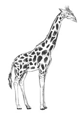 Illustration of giraffee