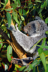 A koala sleeping on a eucalyptus gum tree in Australia