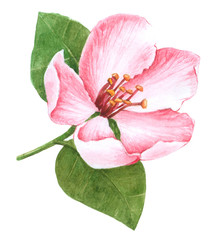 Watercolor Sweet Pink Flower,  Sweet pink flower for design on white background, Flower decorative inviting and card design