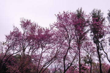 Wild Himalayan Cherry flowers with fog at Khun Wang royal project