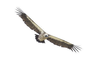 Vulture flying in the sky