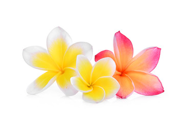 white and pink frangipani or plumeria (tropical flowers) isolated on white background