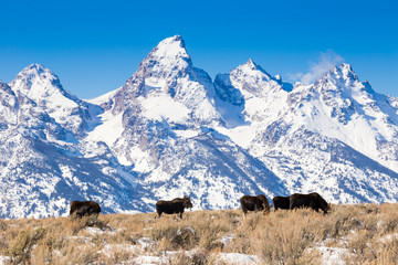 Bull Moose with Tetons