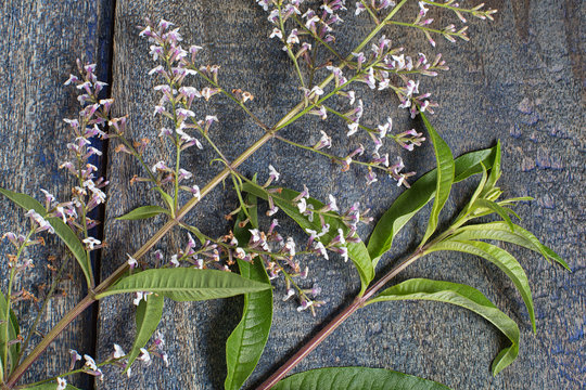 South American verbena bush leaf and flower