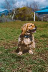 Golden mix dog at the park