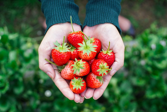 Close up Strawberries picked from strawberry farm in women's hand