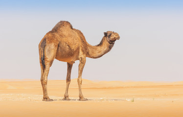 Photo sur Plexiglas Chameau A camel in the Empty Quarter