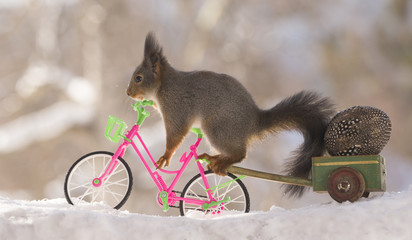 red squirrel on a cycle with egg