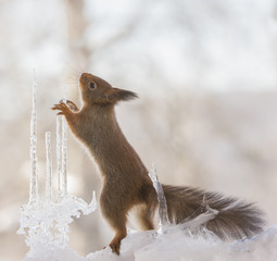 red squirrels standing in between icicles