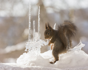 red squirrels looking back   between icicles