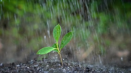Fototapete - Slow motion shot of tree sprout in the rain. Green environment, gardening, ecology, sustainability concept.