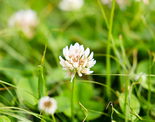 Flowers on clover in spring