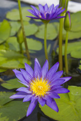 Elegant blue lily flower (lotus) in water. The lotus flower (water lily) is a national flower for India. Symbol in Asian culture