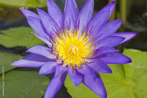 Elegant blue lily flower lotus in water the lotus flower water elegant blue lily flower lotus in water the lotus flower water lily mightylinksfo