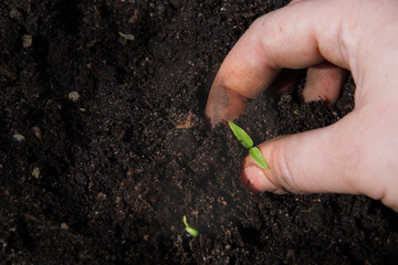 A female hand puts a little green sprout in the ground