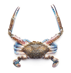 single raw blue crab with long claws isolated on white background