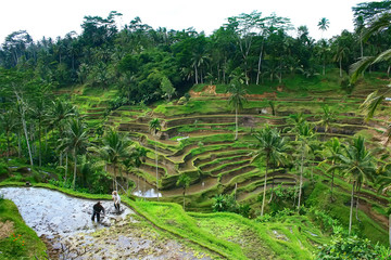 Green emerald rice terraces, indonesian landscape in Bali, Indonesia