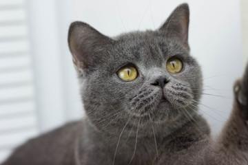 gray British thick cat