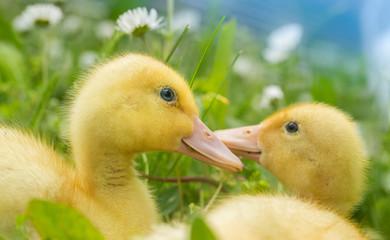 Little yellow duck on the field