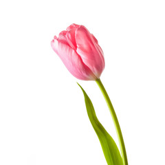 Beautiful pink tulip, spring flower