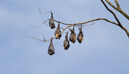 Flying foxes bats hanging from tree