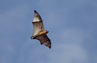 Flying fox bat against blue sky
