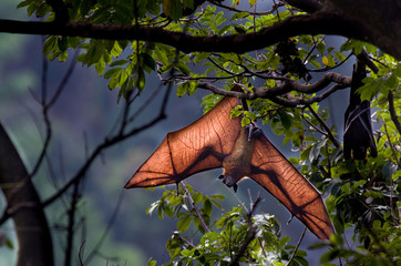 Flying fox bat hanging from tree
