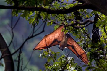 Flying fox bat hanging from tree