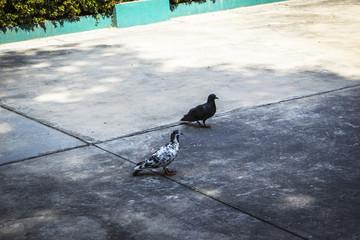 birds pigeons walking on floor