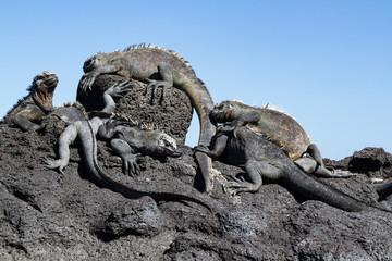 Galapagos Marine Iguanas (Amblyrhynchus cristatus) on lava rock, Galapagos Islands