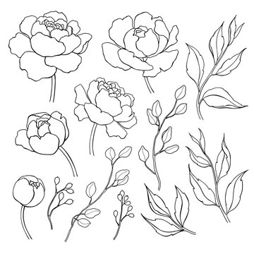 Peony flower and leaves line drawing. Vector hand drawn outline