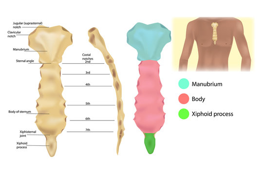 Sternum Anatomy - the articulations and parts of the sternum. Sternal manubrium (Manubrium sterni). Structure of the thoracic wall.