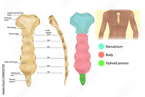 Sternum Anatomy - the articulations and parts of the sternum ...