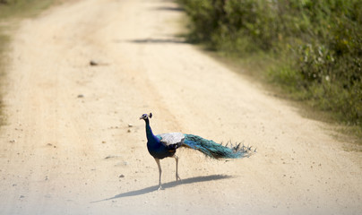 Peacock walking on dirt road