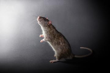 animal gray rat standing