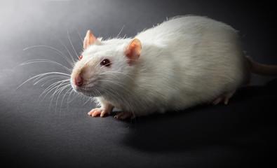 animal white rat close-up