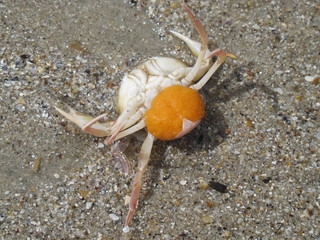 crab with caviar