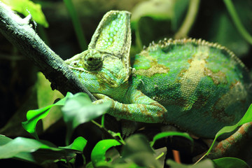green chameleon in the jungle