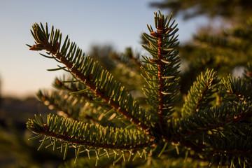 Sunset Macro Photography of Pine Tree Branch
