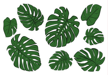 Monstera leaves of a tropical plant sketch.