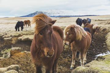 Wild horses in Iceland in winter with snow
