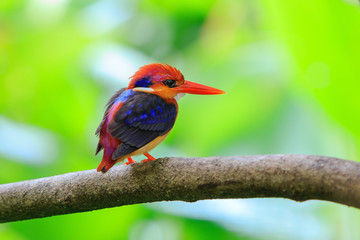 Black-backed Kingfisher in the nature, Thailand.