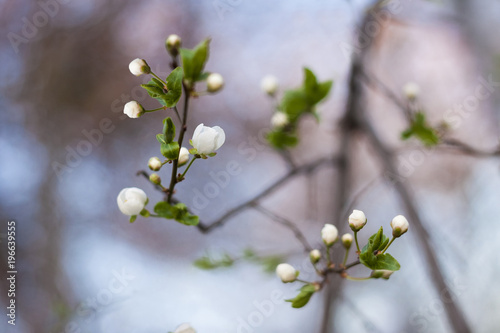 Spring Flower Buds Starting To Bloom On A Branch Stock Photo And