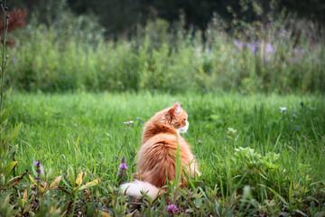 Рыжий кот на зеленой траве, обои, фон