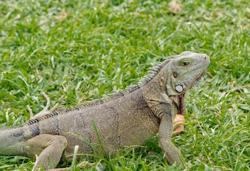 Iguana in the meadow in the Caribbean sea