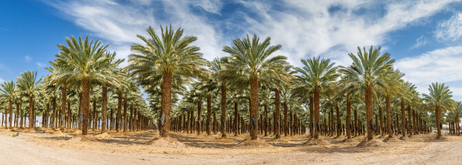 Plantation of date palms. Panoramic image.Tropical agriculture industry in the Middle East