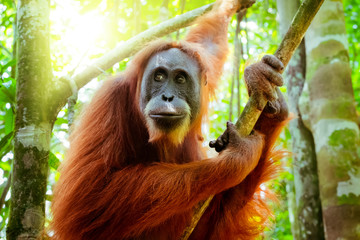 Female orangutan sits grasping tree trunk and looks around against green jungles and shining sun on background. Great ape in shady forest. Endangered species in natural habitat. Sumatra, Indonesia